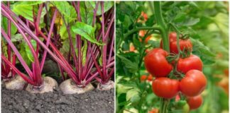 Kaip burokėliai gali padėti užsiauginti gausų pomidorų derlių?