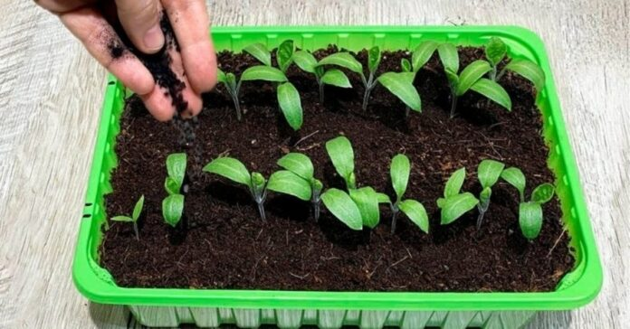 Paprasta priemonė, kuri išgelbės augalų daigus nuo ligų