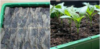Pomidorų sodinimo metodas, kuris duos nuostabų rezultatą