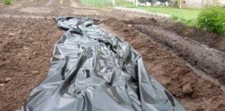 Įdomus agurkų sodinimo būdas: nereikės laistyti visą sezoną