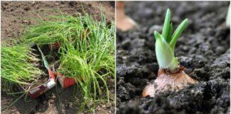 Kaip pasodinti svogūnus: keli patarimai, kurie pravers net geriausiems sodininkams