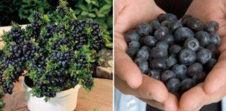 6 patarimai, kurie padės sode auginti mėlynes. Tai lengviau nei galvojote!