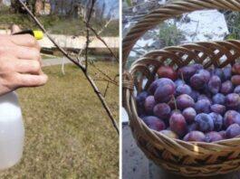 Pavasarinė slyvų priežiūra. Ką daryti, kad derlius būtų gausus?