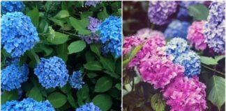 Paprastas būdas pakeisti hortenzijų spalvą į rožinę, mėlyną ar violetinę