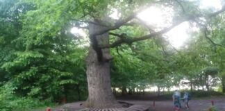 Pora metų metus ėjo pro seną medį, kol galiausiai pastebėjo kai ką neįprasto