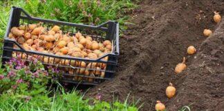 Geriausios 2021 metų dienos sodinti bulves. Nepraleiskite!