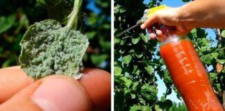 Močiutės vaistas nuo amarų - veikia nepriekaištingai ir nekenkia augalams