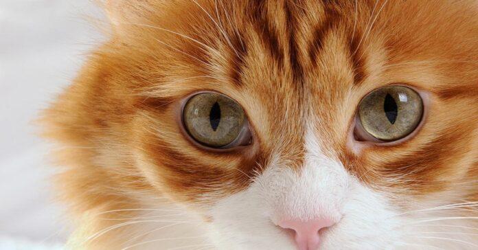 Kaip katės spalva veikia jos šeimininko likimą?