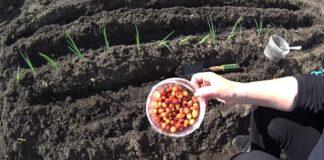 Kiniškas svogūnų sodinimas. Metodas efektyvesnis už kitus