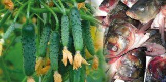 Žuvys užkastos sode. Kuo jos naudingos ir kodėl verta tai daryti?