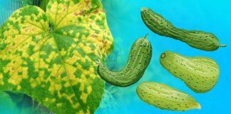 Kodėl agurkų lapai gelsta? 4 priemonės padės išsaugoti derlių