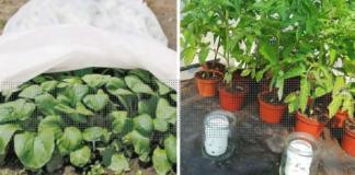 Kaip apsaugoti pasodintas daržoves nuo šalčio?