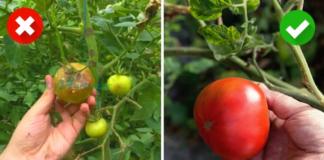 6 naminės priemonės, kaip apsaugoti pomidorus ir bulves nuo ligų. Turėkite sveiką derlių!