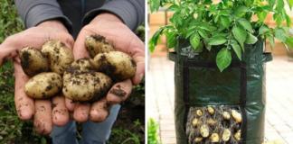 Būdas, kaip galite auginti bulves terasose ir balkonuose. Išbandykite!