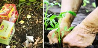 Derlius bus geresnis, jei į žemę įkasite naudotus arbatos maišelius