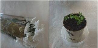 Kaip sudaiginti chrizantemų puokštę, kad iš jos išaugtų gėlės krūmas?