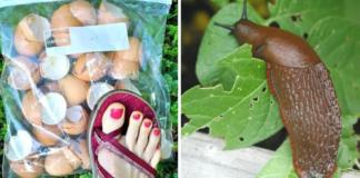 3 natūralūs būdai, kaip atsikratyti sraigių savo sode. Jos išnyks visiems laikams!