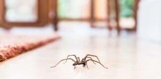 Kodėl negalima žudyti namuose apsigyvenusių vorų?