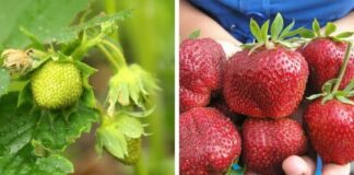 Organinės trąšos braškėms: uogos augs labai greitai!