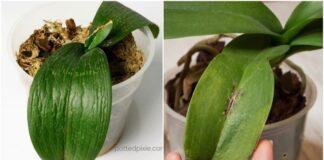 Patarimai ir gudrybės, kaip išsaugoti mirštančią orchidėją