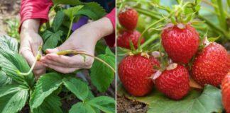 Kaip tręšti braškes, kad gautumėte įspūdingą derlių?