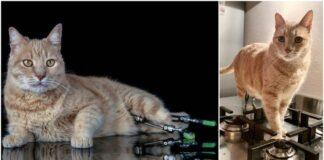 Netekęs abiejų letenų, drąsus katinas tapo populiarius visame internete