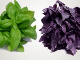 Kuo skiriasi žalias ir violetinis bazilikas ir kurį rinktis?