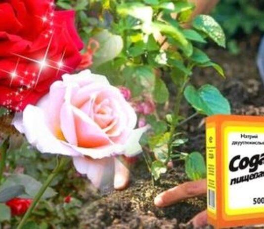 Atnaujinsite rožių krūmą vos su keliais šaukštais sodos
