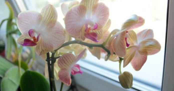 Orchidėja namuose. Ar turėtumėte ją ten auginti?